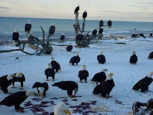 eagles-at-comox